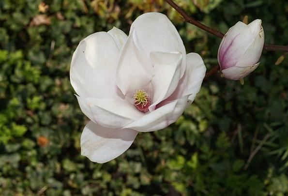 Tulip Tree Alba Superba Tulip Magnolia Ornamental
