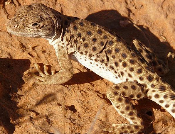 Iguana Physical Reptile Animal Desert Reward Usa F