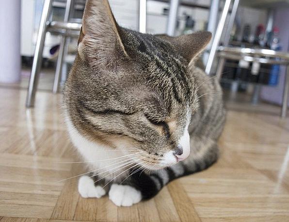 Cat Feline Aftermath Pet Domesticated Hangover Sno