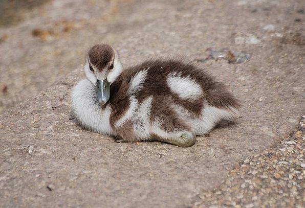Geese Duck Gosling Waterfowl Chick Chicken Bird Fo