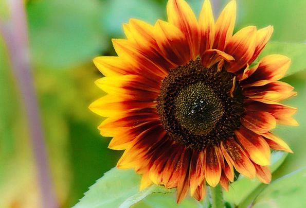 Sun Flower Landscapes Vegetation Nature Nature Cou