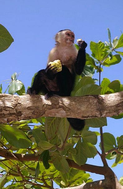 Monkey Ape Drink Faunae Food Eat Bother Animals Gr