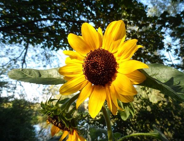 Sun Flower Creamy Late Summer Flower Yellow