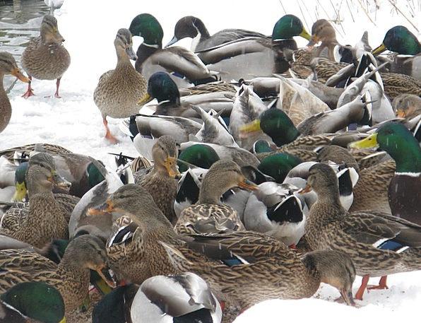 Ducks Dears Season Ducks In Winter Winter