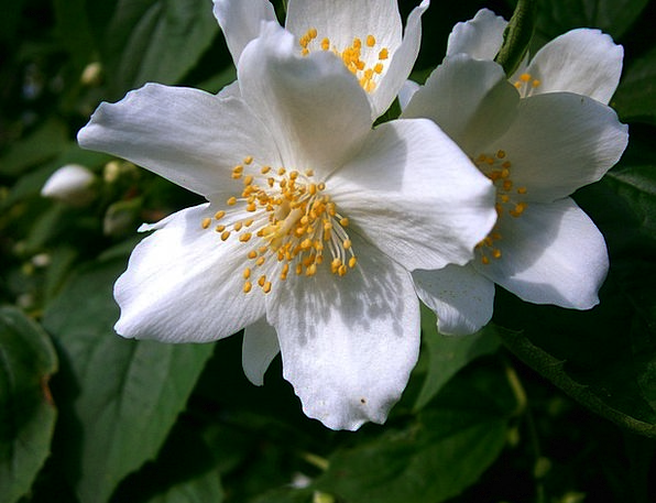 Summer Jasmine Landscapes Nature Mock Orange Bauer