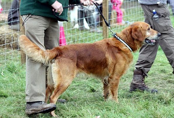 Dog Handler Trainer Retriever Outside Lead Clue Pu