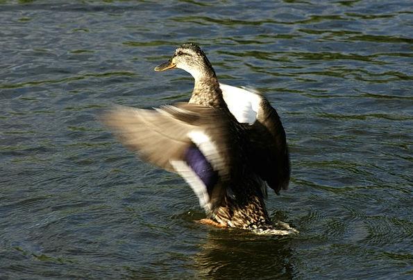 Duck Stoop Annexes Water Aquatic Wings