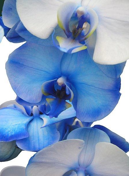 Orchid Azure Light Blue Blue Tender Loving Orchida