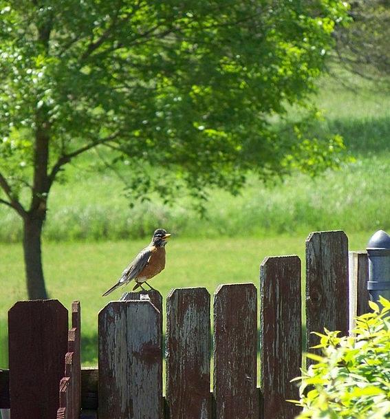 Robin Landscapes Vocal Nature Summer Straw-hat Sin