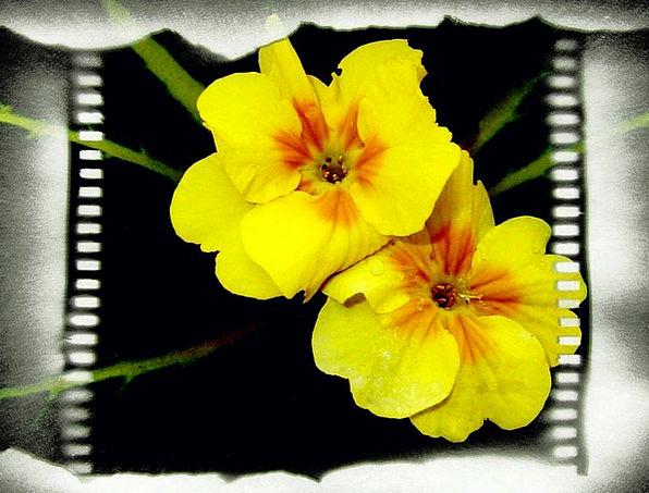 Yellow Creamy Landscapes Floret Nature Film Frame