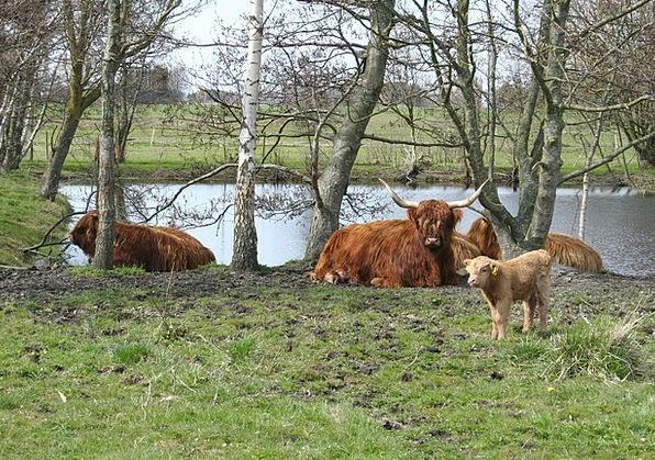 Cattle Cows Highland Cattle Scottish Highland Catt