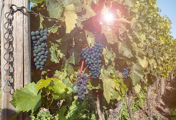 Grapes Drink Creepers Food Vineyard Winery Vines B
