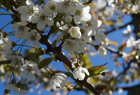 Cherry Blossom Pink Flower Floret Cherry Old Count