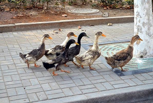 Duck Stoop Dears Leader Frontrunner Ducks Lead Clu