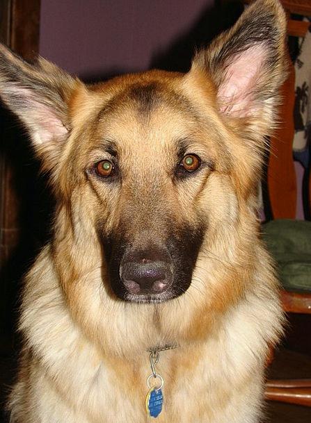 German Shepherd Pet Domesticated Dog Animal Physic