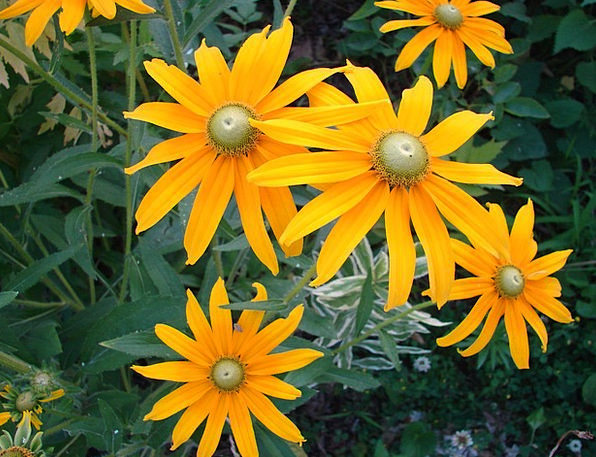 Rudbeckia Hirta Landscapes Floret Nature Bloom Flo