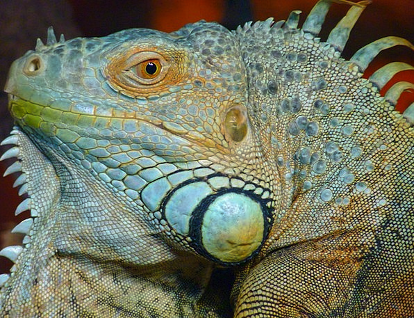 Iguana Lime Lizard Green Dewlap Incite Kaltblut Sc