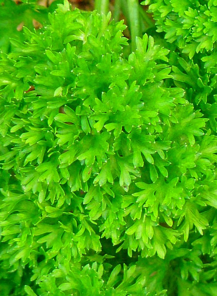 Parsley Basil Lime Spice Interest Green Simple Her