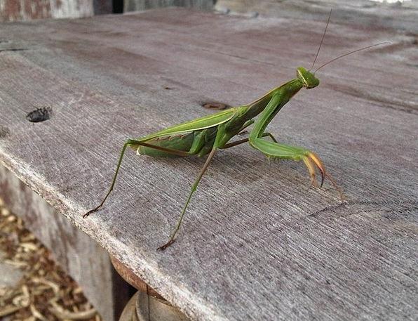 Walking Stick Cane Insect Praying Mantis Nature Wildlife