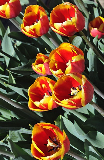 Tulip Landscapes Floret Nature Floral Flowery Flow