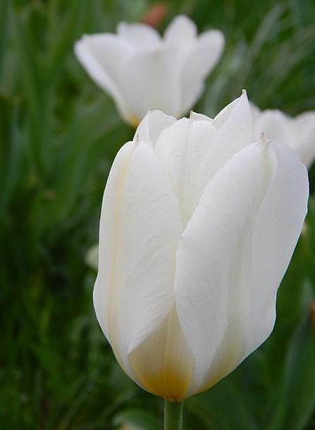 Tulips Snowy Flowers Plants White Garden Plot Deco