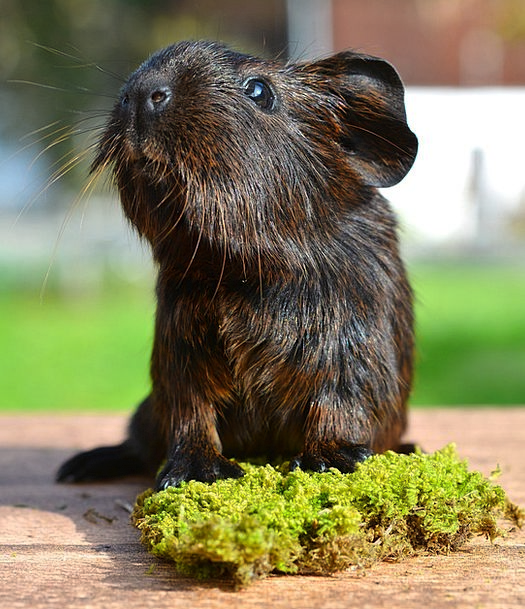 Gold Agouti Pet Domesticated Guinea Pig Nager Blac