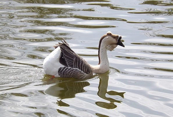 Goose Aquatic Bird Fowl Water Lake Freshwater Wild