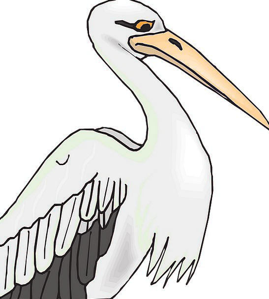 Pelican Fowl Grey Old Bird Feathers White Snowy Wi