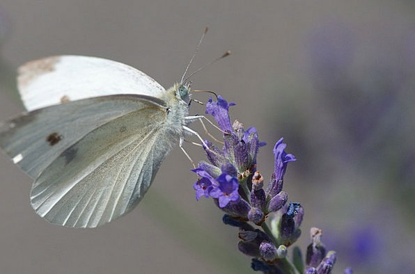Butterfly Insect Bug Cabbage White Snowy