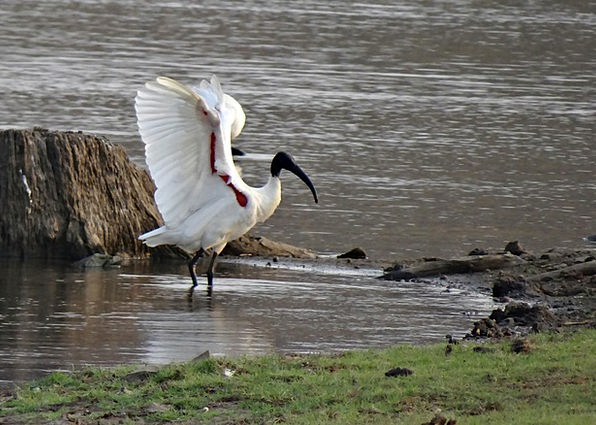 Ibis Wading Bird White Ibis Wader Gumboot Bird Fla