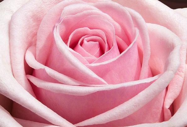 Rose Design Landscapes Amalgams Nature Flowers Pla