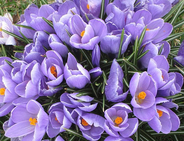 Flower Floret Spring Coil Crocus Springtime Season