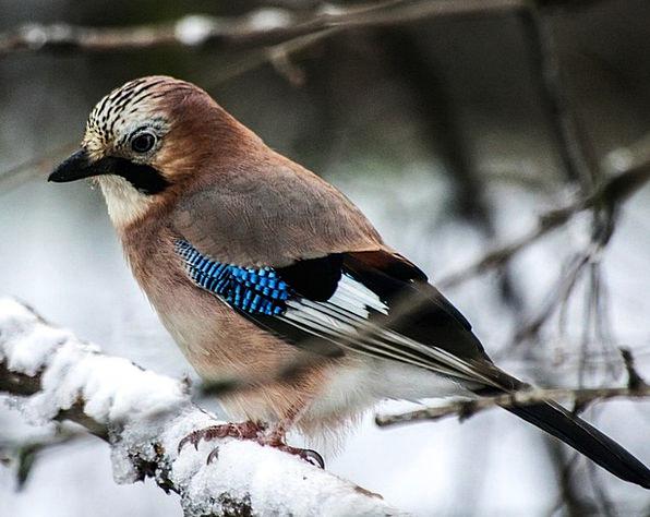 Jay Fowl Plumage Down Bird Winter Season Cold Anim