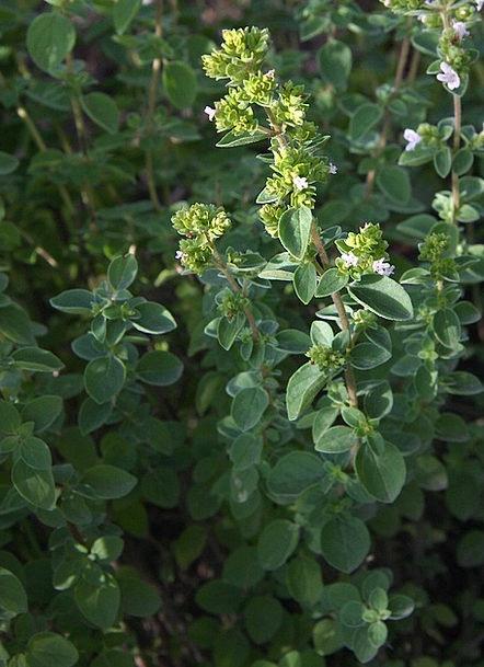 Oregano Landscapes Basils Nature Plant Vegetable H