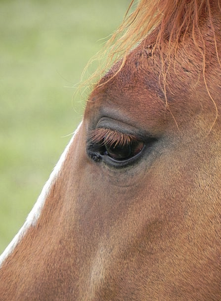 Eye Judgment Mount Brown Chocolate Horse Beautiful