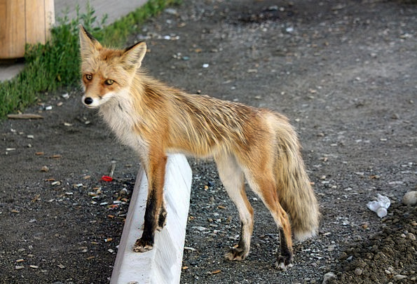 Fuchs Yukon Pelly Crossing Canada Animals Yukon Te