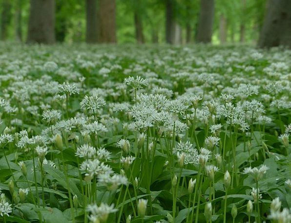 Bear'S Garlic Landscapes Plants Nature White Snowy