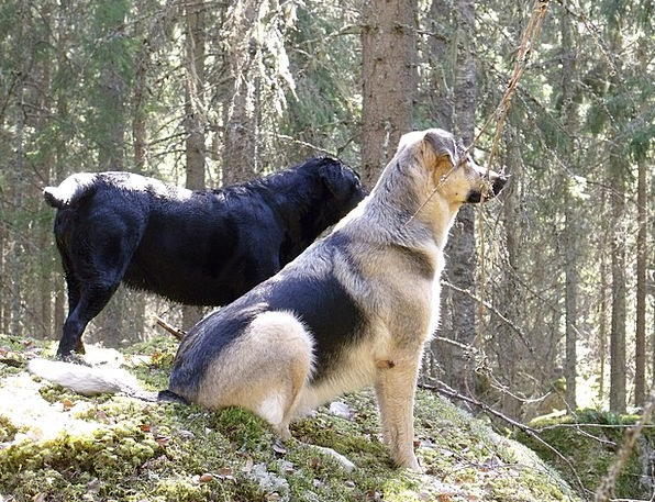 German Shepherd Landscapes Canines Nature Friends