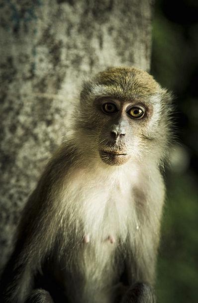 Monkey Chimpanzee Primate Archbishop Ape Malaysia