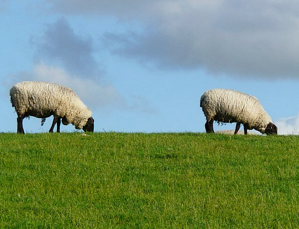 Flock Of Sheep Landscapes Ewe Nature Pair Couple S