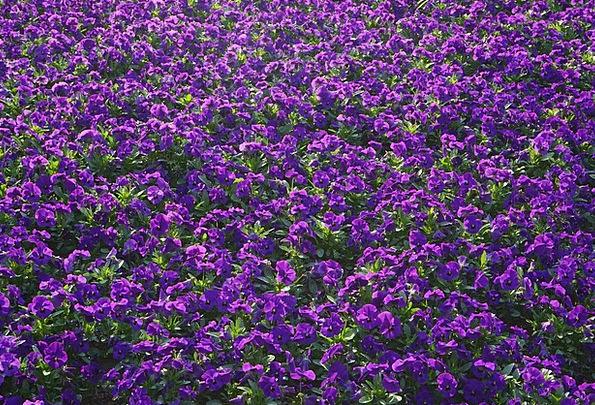 Pansy Plants Blütenmeer Flowers Viola Wittrockiana