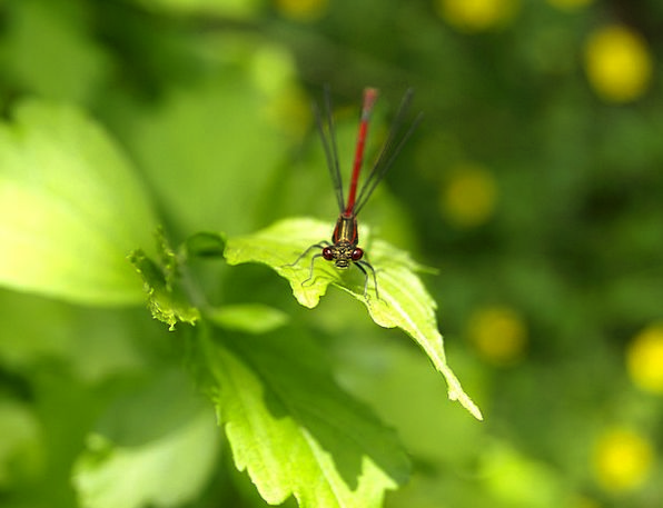 Dragonfly Bloodshot Insect Bug Red Persevere Fligh