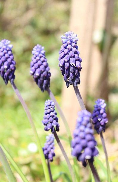 Grape Hyacinth Landscapes Nature Flower Floret Hya