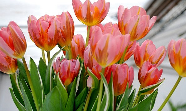 Tulip Landscapes Nature Flower Floret Tulips Natur