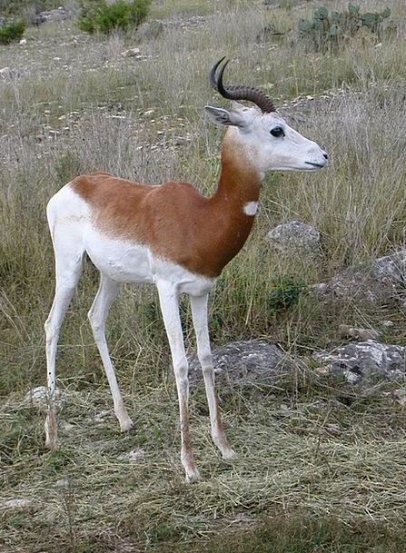 Springbok Antidorcas Marsupialis Wildlife Wild Ani
