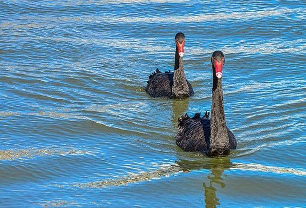 Black Swan Water Bird Australian Black Swan Fowl B