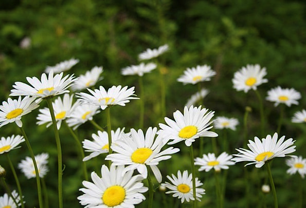 Daisies Landscapes Countryside Nature Park Common