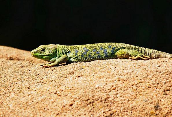 Emerald Lizard Landscapes Nature Animals Faunae Li