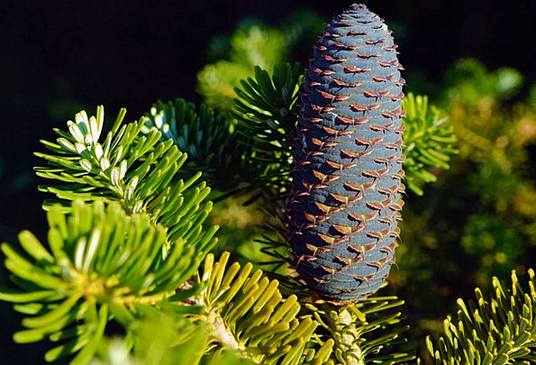 Pine Cones Landscapes Nature Tannenzweig Fir Tap B