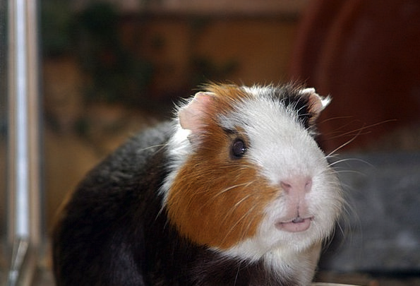 Guinea Pig Pet Domesticated Amanda Smooth Hair Thr